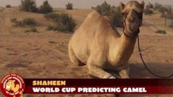 Pronostic du chameau Shaheen